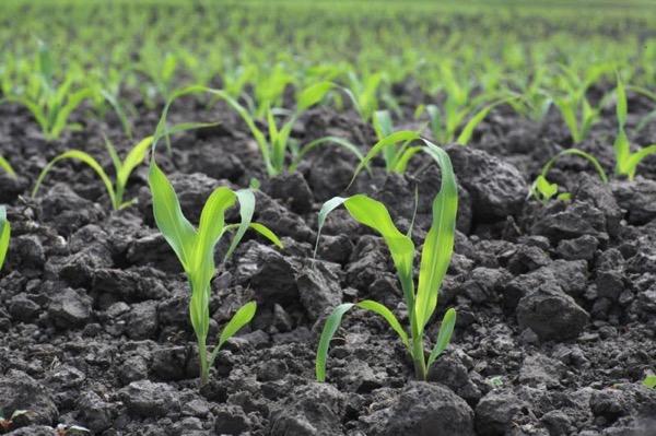 Кукуруза ростки